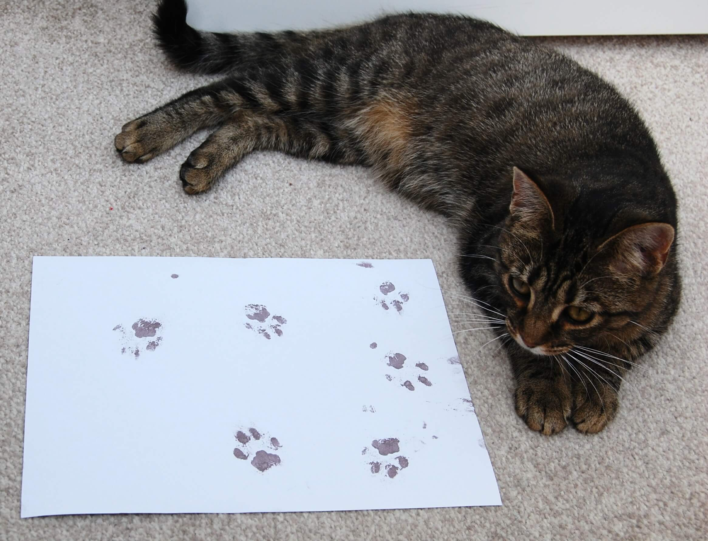 Tiger the tabby cat with her amazing paw prints
