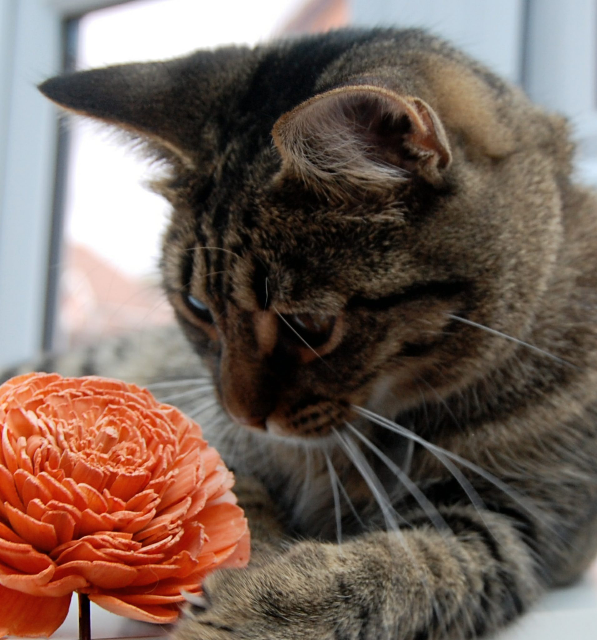 Beautiful tabby cat playing with an orange flower