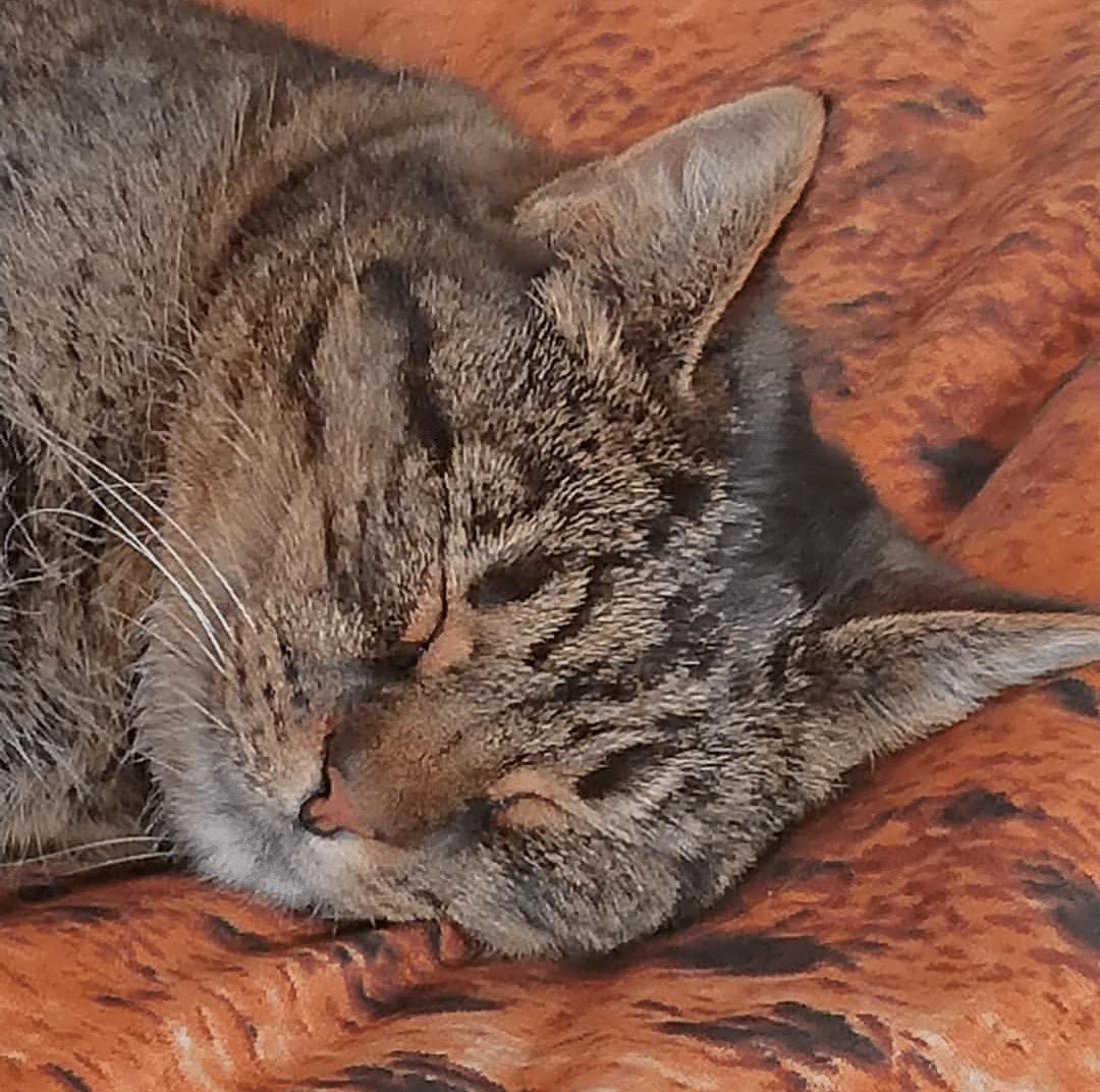 Beautiful tabby cat sleeping