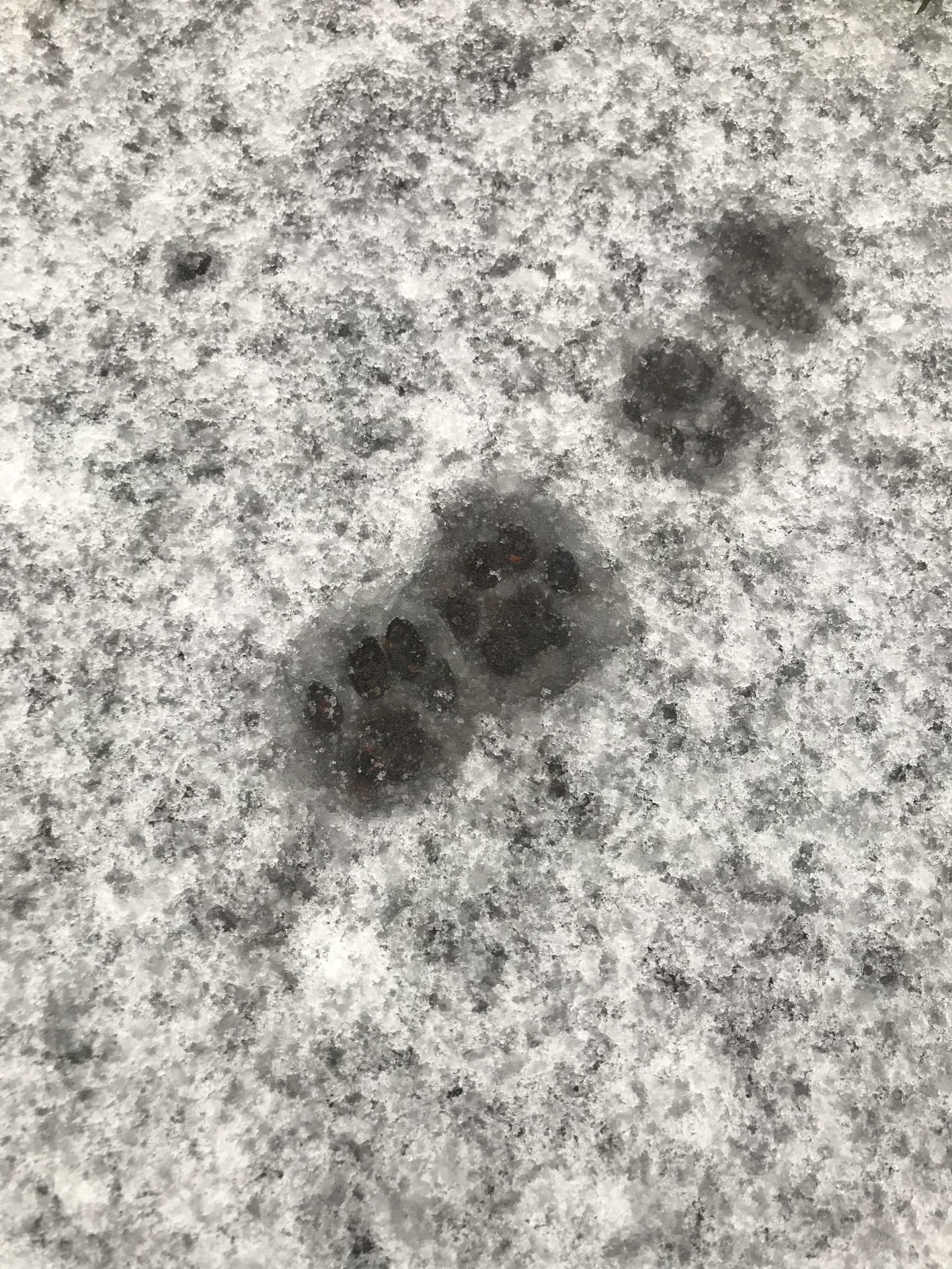 Figaro's paw prints in snow were used to create silver paw print jewellery