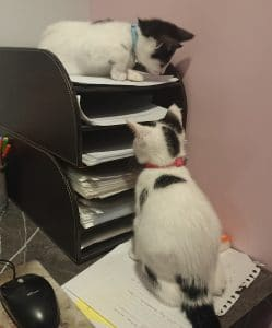 Black and white kittens helping with filing