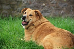 Overweight dog Image by Barbara Danázs from Pixabay
