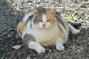 Obese cat Image by Andreas Almstedt from Pixabay