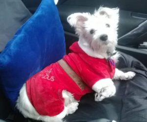 Fluffy dog in her pretty Santa suit