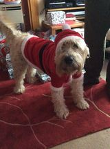 Jack dog in his Santa coat Christmas jumper