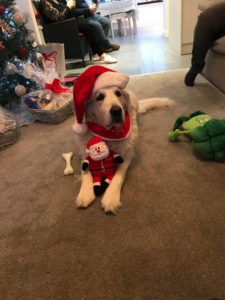 Marley dog in Christmas outfit