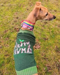 Merlyn dog in his Christmas jumper