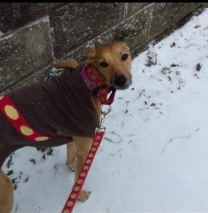 Merlyn dog in the snow with his Christmas coat