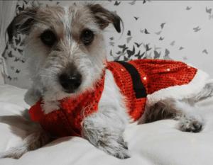 Pebbles dog in her cute Santa suit