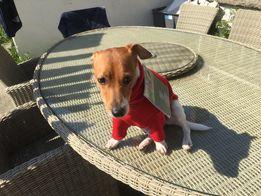 Penelope dog trying on her winter jumper