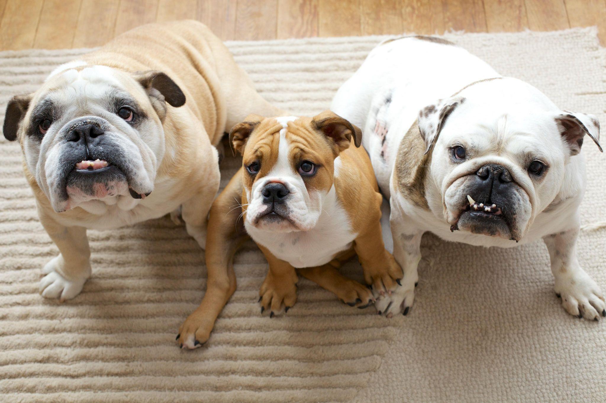 Three bulldogs sat together