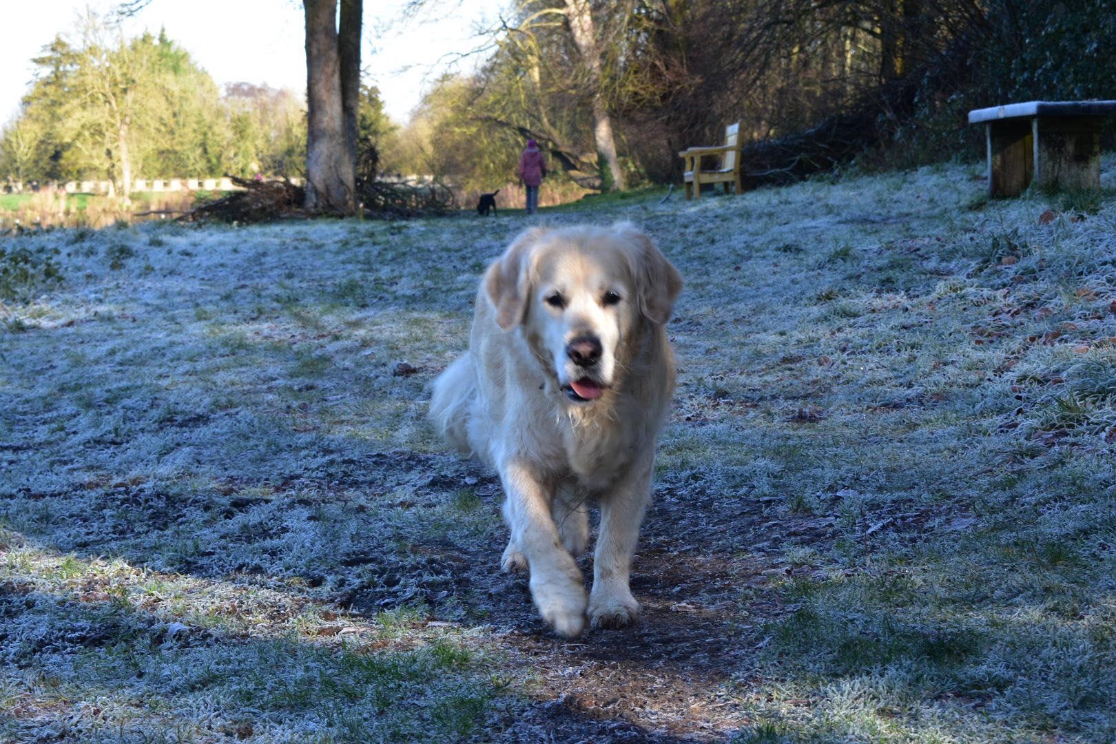 Thomas the golden retriever enjoying his walk at Lydiard Park. Photo by Bethany Fry