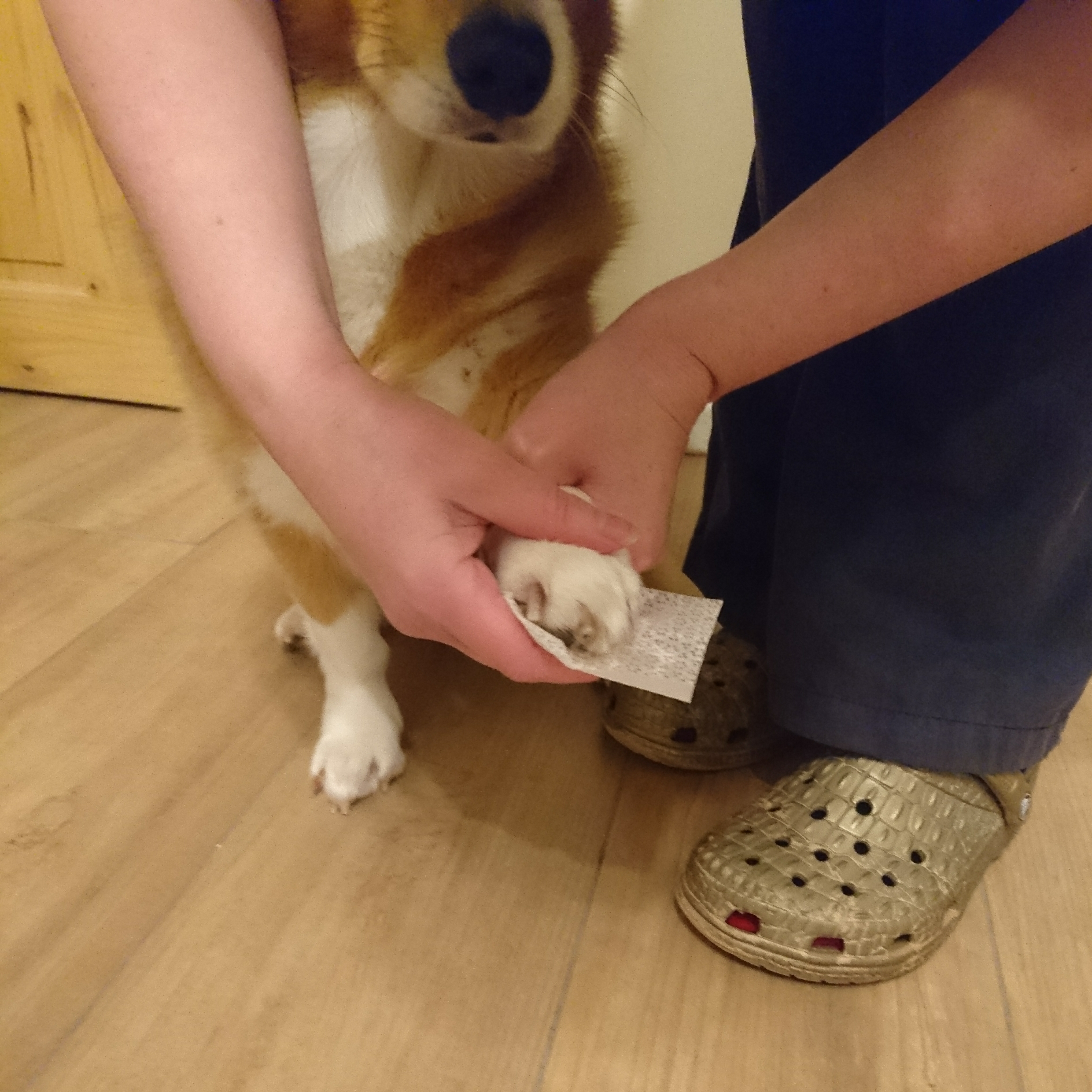 Wiping inkless wipe over Wirral the Corgi dog paw ready to take a paw print