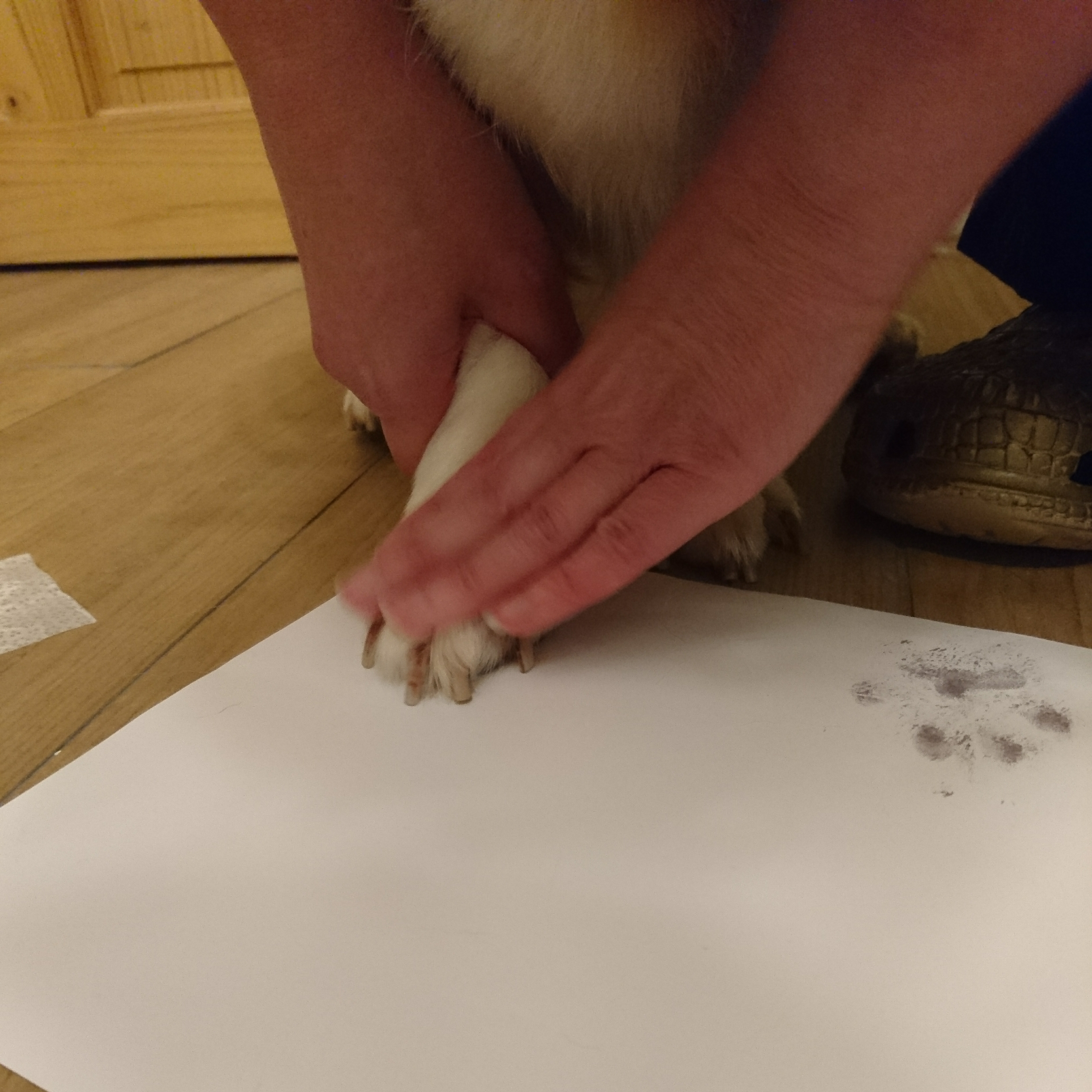 Placing Wirral the Corgis paw onto inkless paper to make an inkless paw print