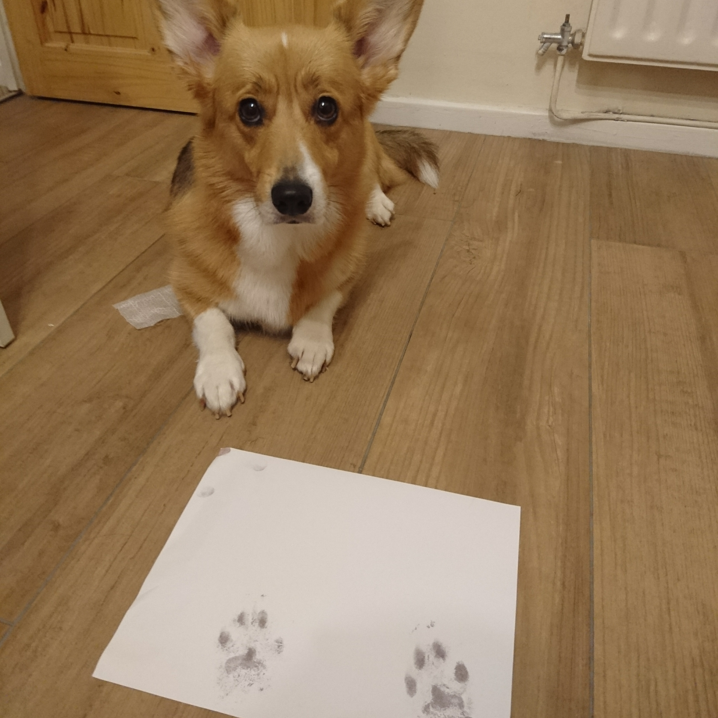 Wirral the Corgi sat with her inkless paw prints she just made with a kit from Cheeky Little Prints