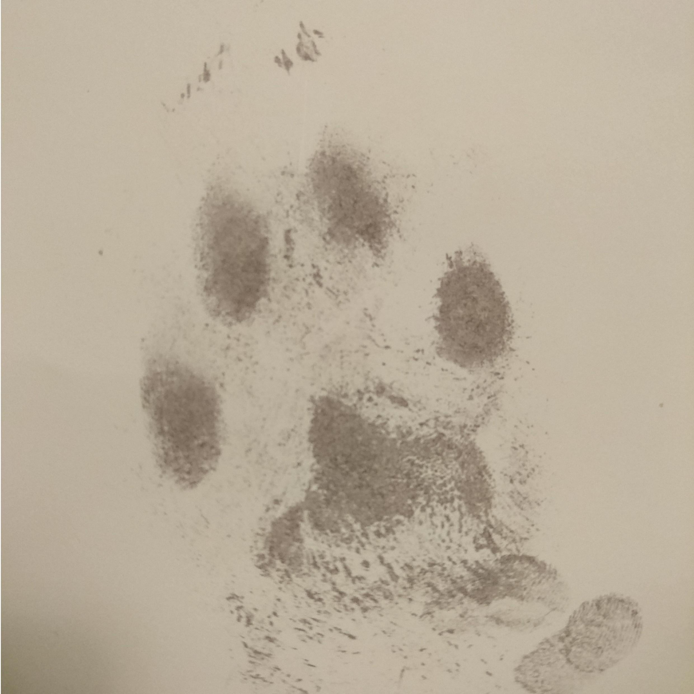 Dog paw print taken with an inkless paw print kit