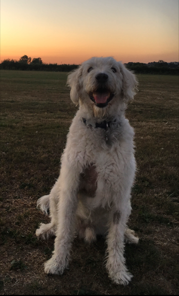 Large breed dog watching the sunset