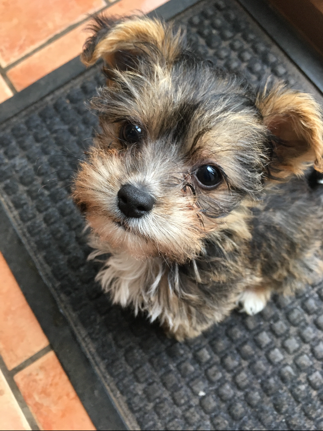 Cute puppy with puppy dog eyes looking straight at you