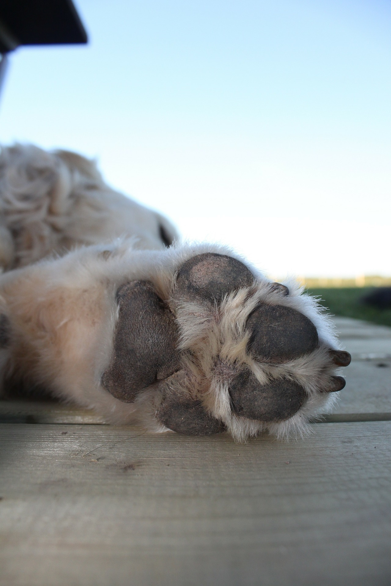 fun facts about dogs, dogs have sweat glands in their paw pads