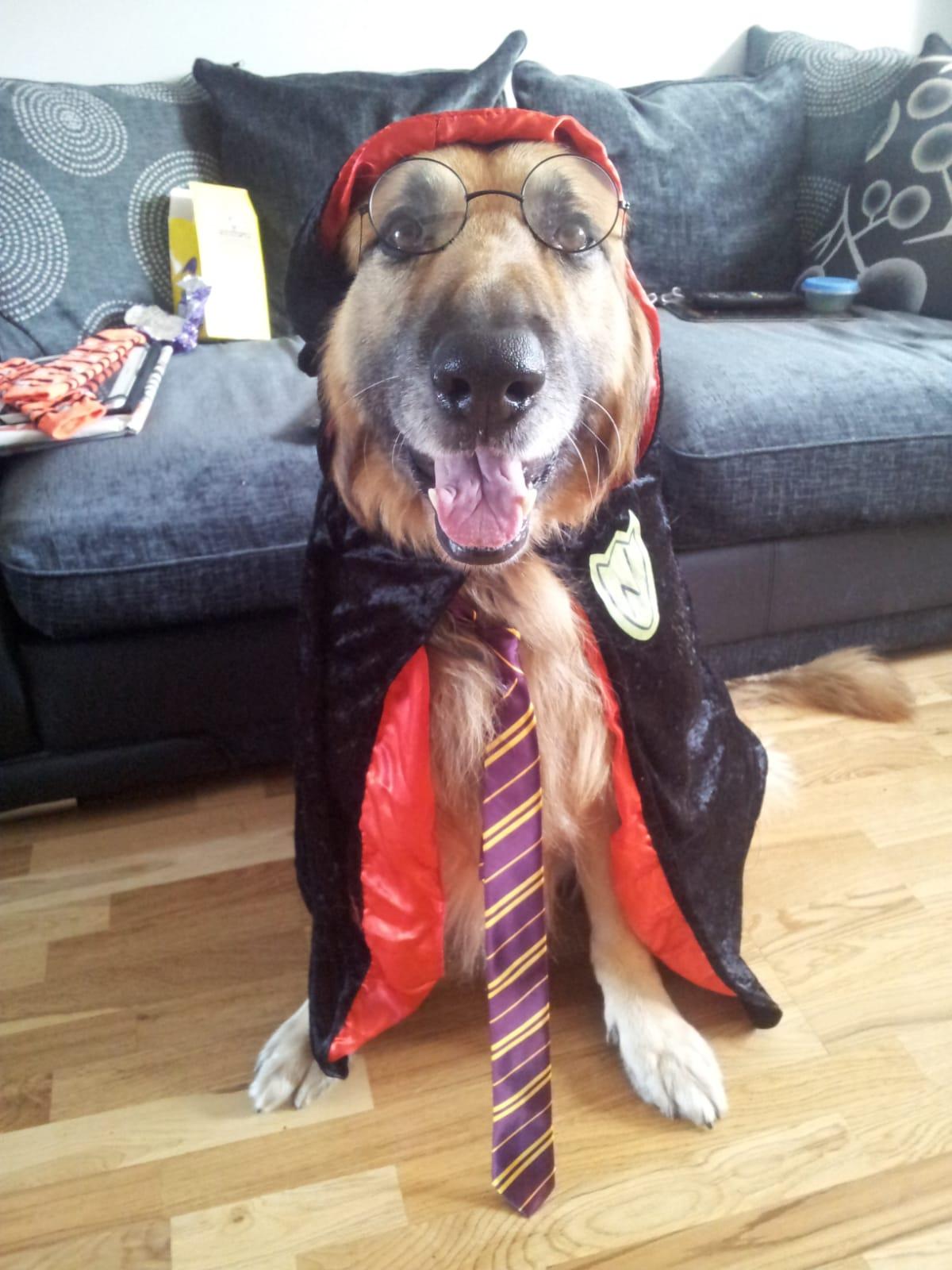 German Shepherd in dress up clothes